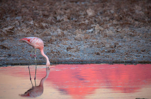 Andes Photograph - Chilean Flamingo Drinking by Mallorie Ostrowitz