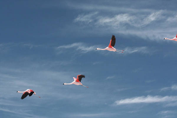 Wall Art - Photograph - Chilean Flamingos In Flight by Mallorie Ostrowitz
