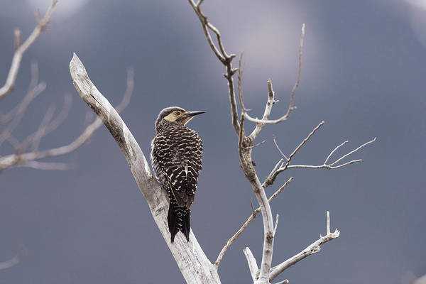 Colaptes Photograph - Chilean Flicker by Dr P. Marazzi/science Photo Library