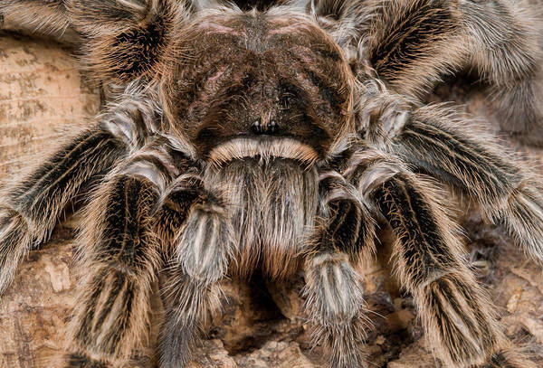 Invertebrate Wall Art - Photograph - Chilean Rose Tarantula Close-up by Nigel Downer