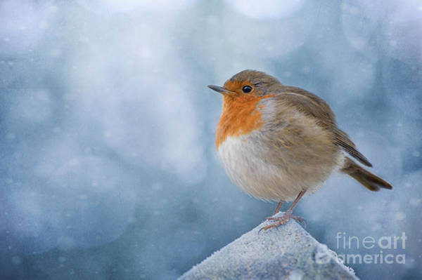 European Robin Photograph - Chilly by Jacky Parker
