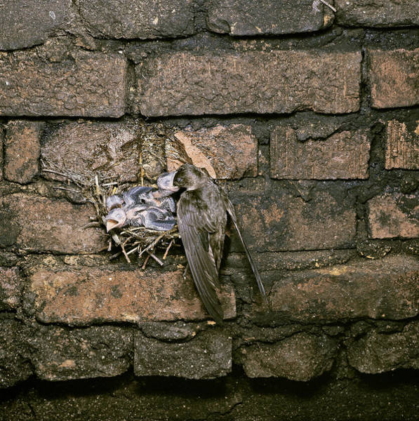 Chimney Swift Wall Art - Photograph - Chimney Swift Feeding Young In Nest by G Ronald Austing
