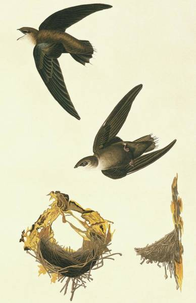 Chimney Swift Wall Art - Photograph - Chimney Swift by Natural History Museum, London/science Photo Library