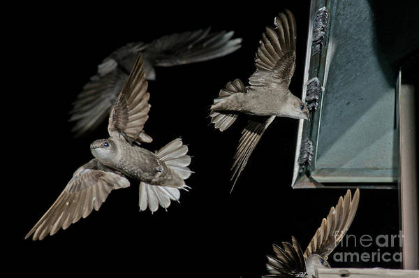 Chimney Swift Wall Art - Photograph - Chimney Swifts by Anthony Mercieca
