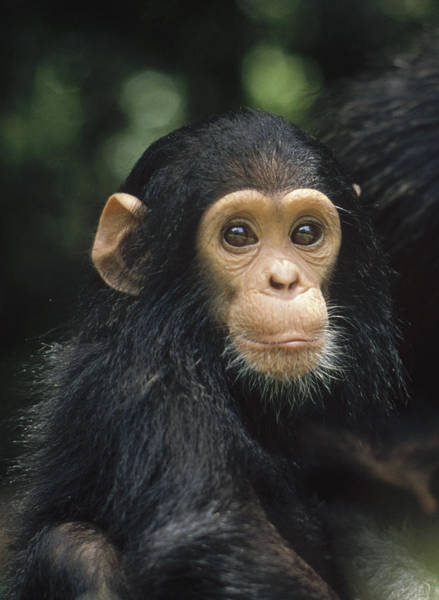 Photograph - Chimpanzee Baby Portrait Gombe Stream by Gerry Ellis