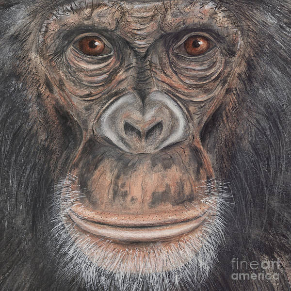 Painting - Chimpanzee Face - Pan Troglodytes - Fine Art Print - Stock Illustration - Stock Image by Urft Valley Art