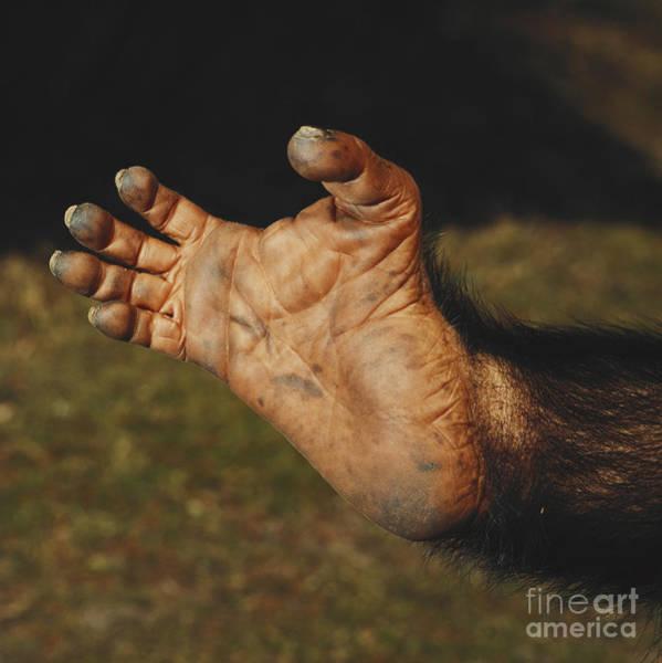 Photograph - Chimpanzee Foot by Toni Angermayer