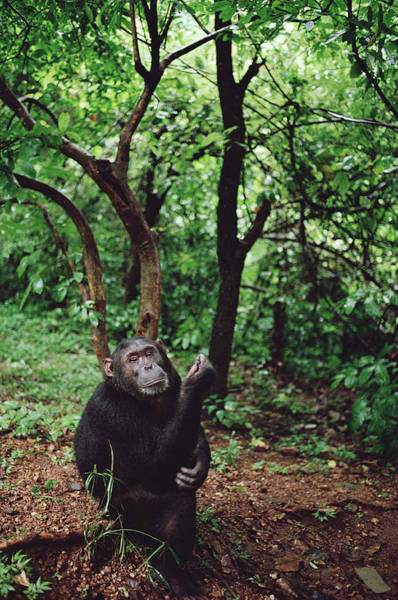 Gombe National Park Wall Art - Photograph - Chimpanzee Gombe Stream by Gerry Ellis