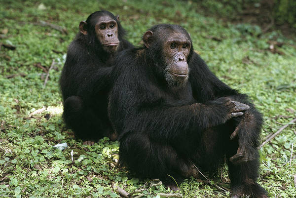 Gombe National Park Wall Art - Photograph - Chimpanzee Grooming Another Gombe Stream by Gerry Ellis