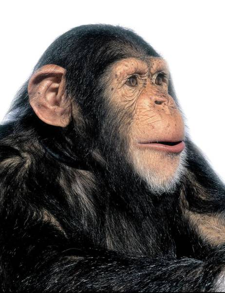 Bonobos Photograph - Chimpanzee by Natural History Museum, London/science Photo Library