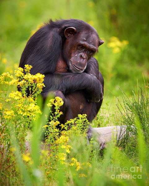 Photograph - Chimpanzee On A Tree by Nick  Biemans