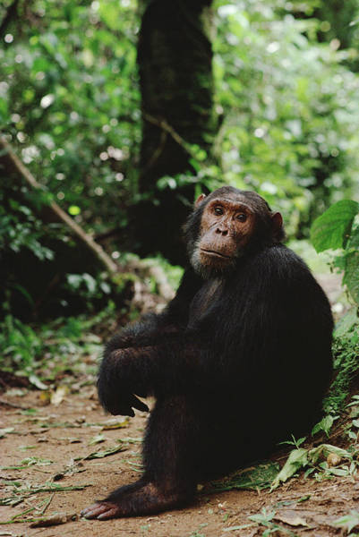 Gombe National Park Wall Art - Photograph - Chimpanzee On Forest Floor Gombe Stream by Gerry Ellis