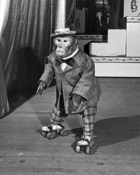 Wall Art - Photograph - Chimpanzee On Skates by Underwood Archives