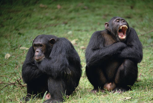 Gombe National Park Wall Art - Photograph - Chimpanzee Pair Interacting Gombe Stream by Gerry Ellis
