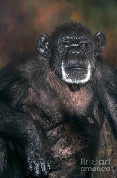 Photograph - Chimpanzee Portrait Endangered Species Wildlife Rescue by Dave Welling