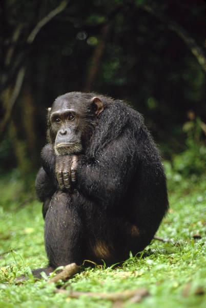 Gombe National Park Wall Art - Photograph - Chimpanzee Portrait Gombe Stream by Gerry Ellis