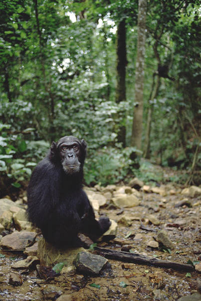 Gombe National Park Wall Art - Photograph - Chimpanzee Profile Gombe Stream by Gerry Ellis
