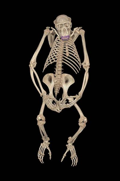 Specimen Photograph - Chimpanzee Skeleton by Anders Persson, Cmiv