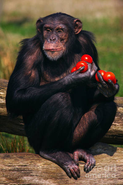 Photograph - Chimpanzee With Tomatoes by Nick  Biemans