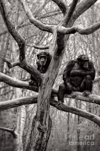 Wall Art - Photograph - Chimpanzees by HD Connelly