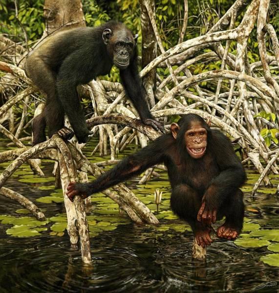Chimpanzees In Mangrove Art Print by Owen Bell