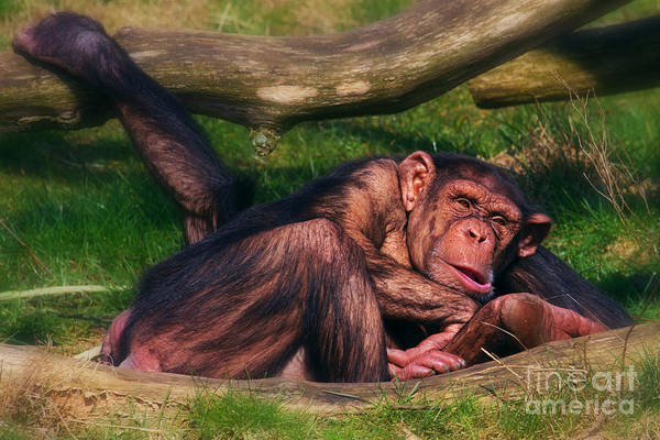 Photograph - Chimpanzees Taking A Nap by Nick  Biemans