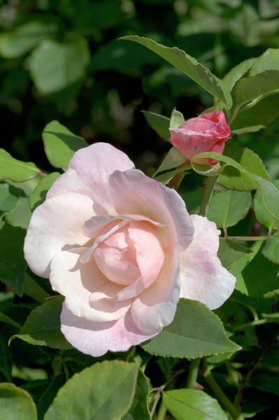 Wall Art - Photograph - China Rose (rosa 'irene Watts') by Brian Gadsby/science Photo Library