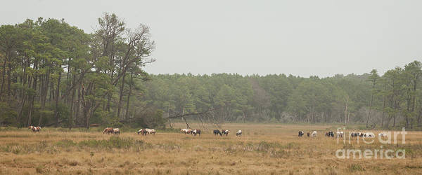 Photograph - Chincoteague Ponies South Herd by Carol Lynn Coronios