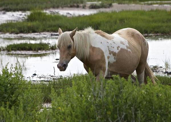 Photograph - Chincoteague Pony 3 by Karen Saunders