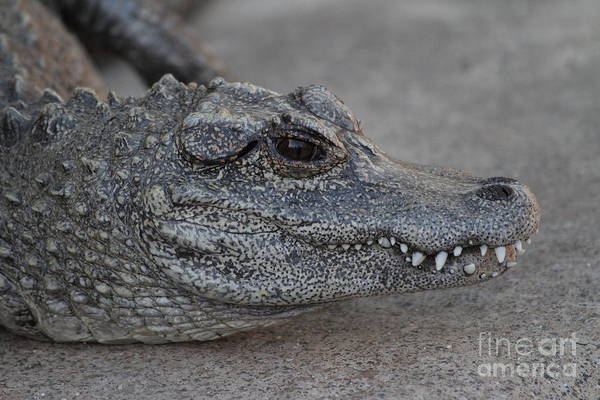 Wall Art - Photograph - Chinese Alligator by Ruth Jolly