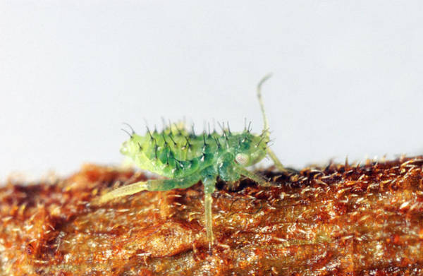 Elm Photograph - Chinese Elm Aphid Nymph by Uk Crown Copyright Courtesy Of Fera/science Photo Library