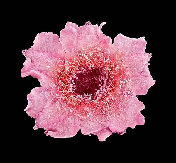 Fever Photograph - Chinese Fever Vine Flower by Susumu Nishinaga