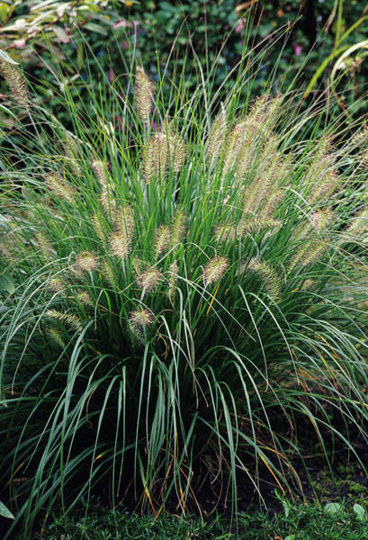 Pennisetum Photograph - Chinese Fountain Grass by Duncan Smith/science Photo Library
