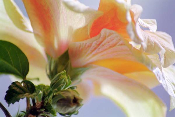 Chinese Hibiscus (hibiscus Rosa-sinensis) Art Print