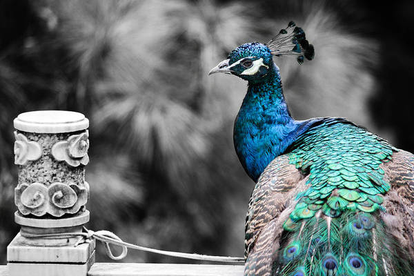 Photograph - Chinese Peacock by Karen Saunders