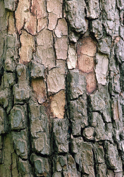 Wall Art - Photograph - Chinese Persimmon Bark by Pascal Goetgheluck/science Photo Library