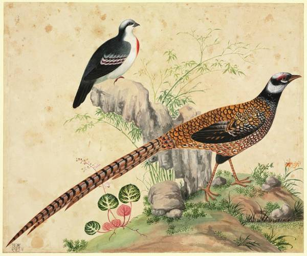 Bleeding Photograph - Chinese Pheasants by Natural History Museum, London