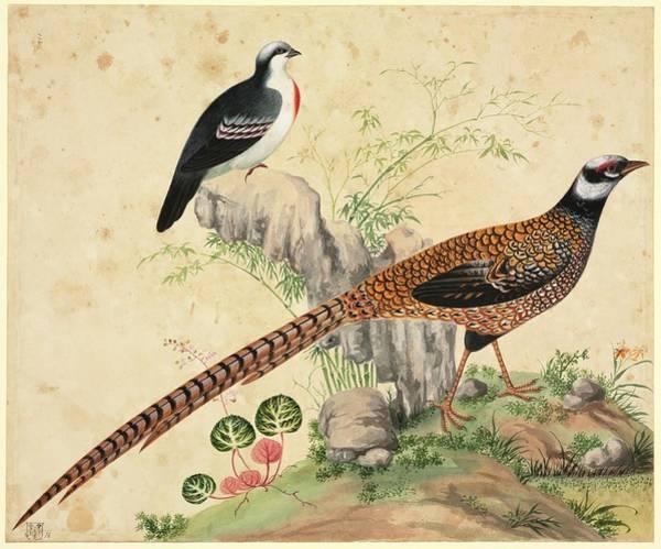 Bleeding Wall Art - Photograph - Chinese Pheasants by Natural History Museum, London