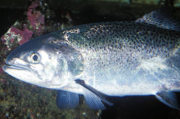 Chinook Salmon Photograph - Chinook Or King Salmon by Greg Ochocki