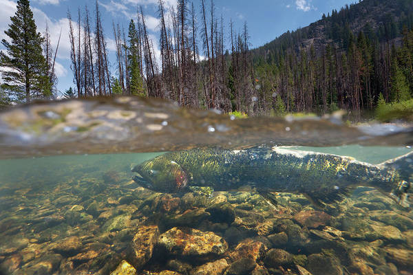 Chinook Salmon Photograph - Chinook Salmon Spawning In Little by Peter Essick