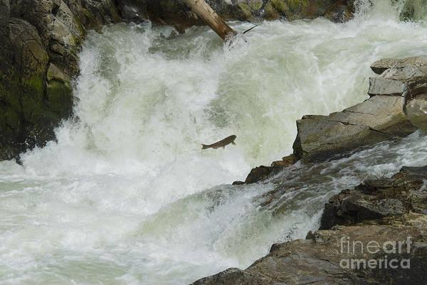 Chinook Salmon Photograph - Chinook Salmon by William H. Mullins