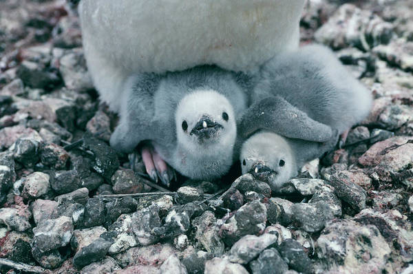 Oceanic Photograph - Chinstrap Penguin Chicks by British Antarctic Survey/science Photo Library
