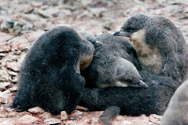 Wall Art - Photograph - Chinstrap Penguin Chicks by William Ervin/science Photo Library