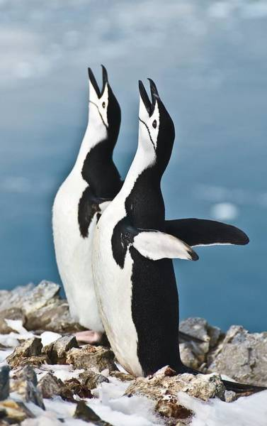 Mating Ritual Photograph - Chinstrap Penguin Courting Display by Science Photo Library