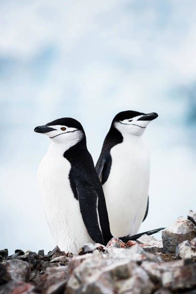 Wall Art - Photograph - Chinstrap Penguins, Orne Harbour by Andrew Peacock