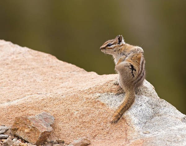 Photograph - Chipmunk by Brian Magnier