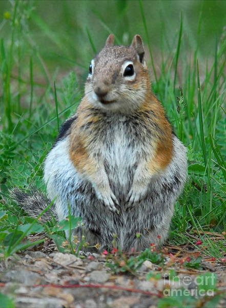 Photograph - Chipmunk by Mae Wertz
