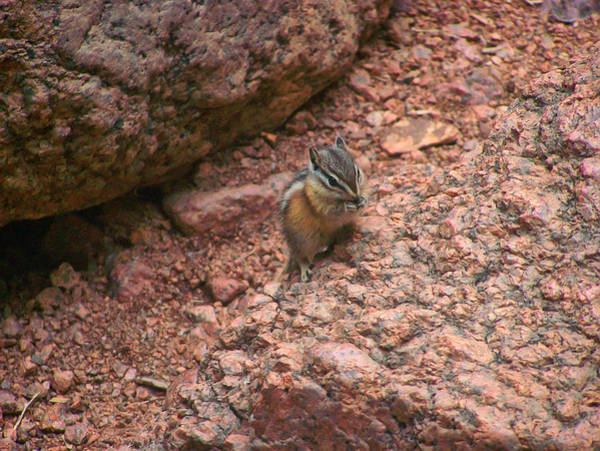 Photograph - Chipmunk Eating by Chris Flees