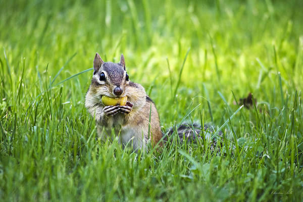 Photograph - Chipmunk Gathering Nuts by Christina Rollo