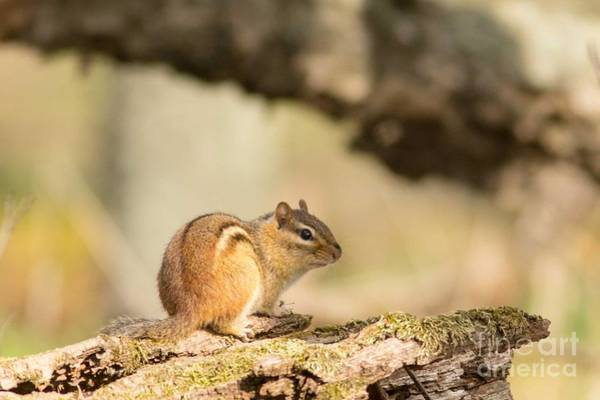 Horicon Marsh Photograph - Chipmunk In Horicon by Natural Focal Point Photography